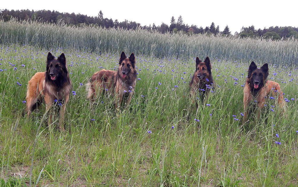 Belgische Schaferhunde Biesenthal Die Tervuerenzucht Aus Brandenburg
